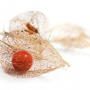 3physalis_weiss