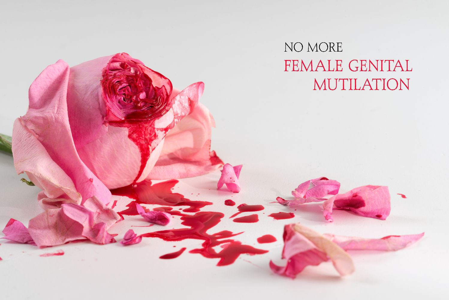 cut rose blossom, blood and petals on a bright gray background with text No More Female Genital Mutilation,  concept for the international day of zero tolerance for FGM on 6 february