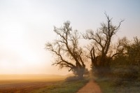 two old poplar trees with bare branches at a path next to a field in the misty morning sunrise light, autumn landscape with copy space